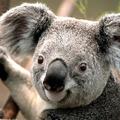 Medium koala